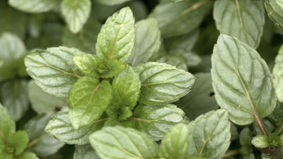 Mint - Chocolate Mint (Organic)