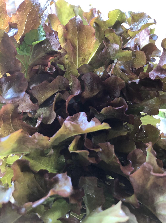 Red Oak Lettuce (Head) (Aquaponic  Organic)