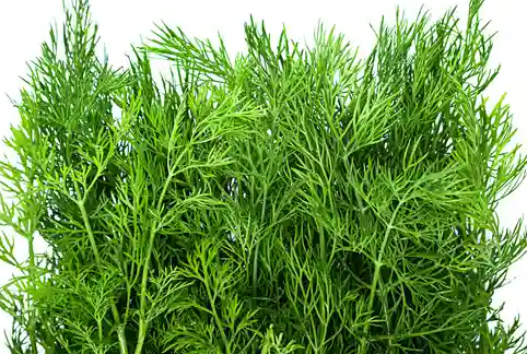 Dill (Organic)