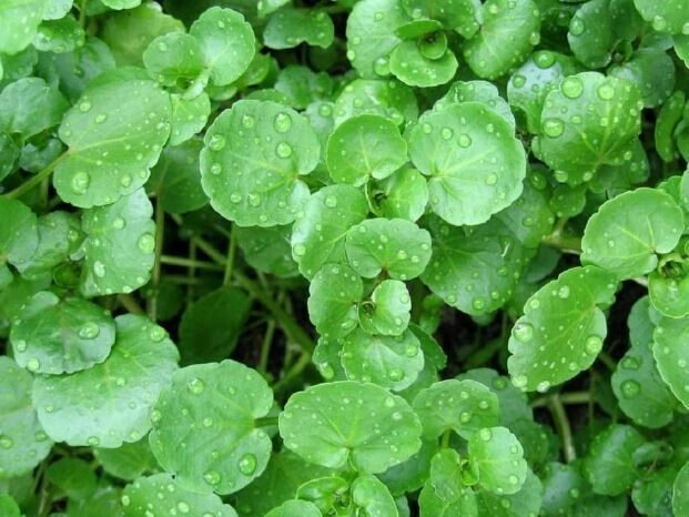 Watercress (Aquaponic)