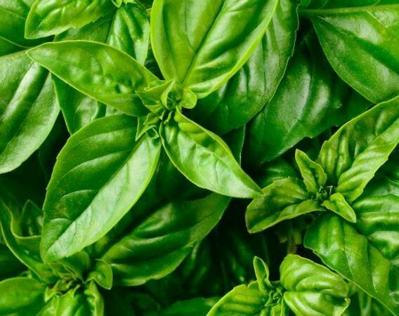 Basil 30g (Aquaponic Organic)
