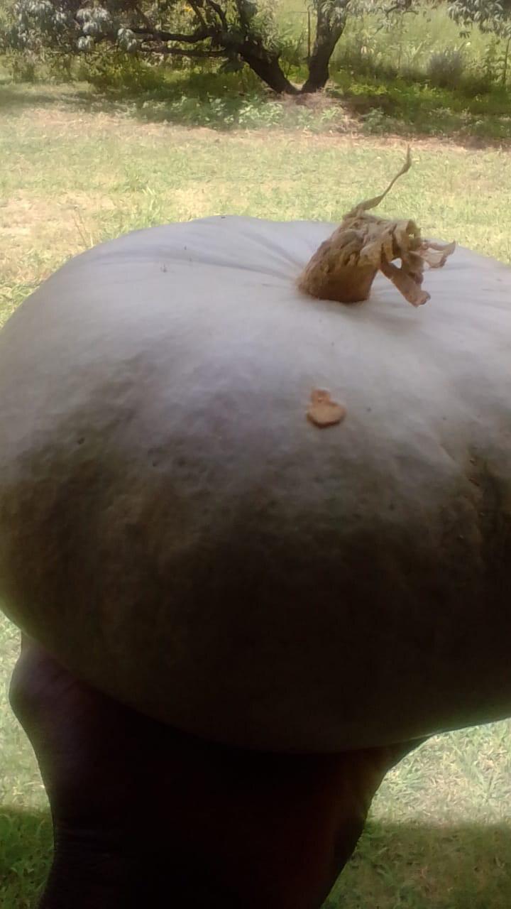 Pumpkin (Organic) Each