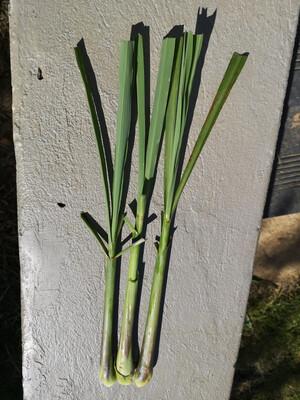 Lemon Grass (Organic)
