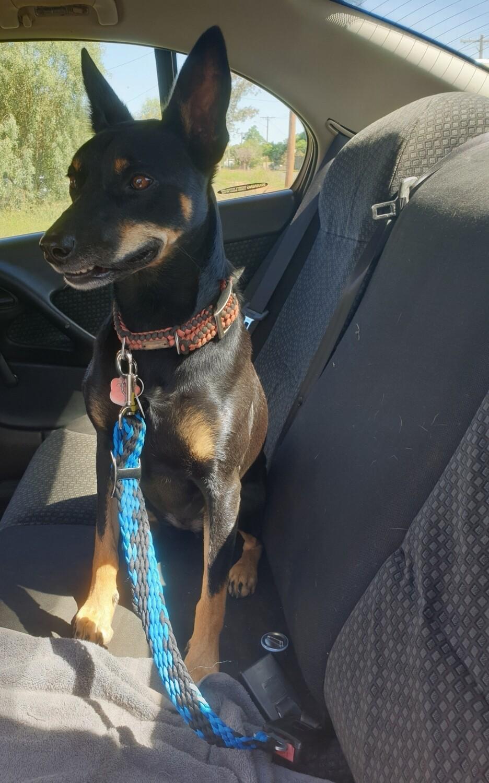 Medium/Large Seat Belt