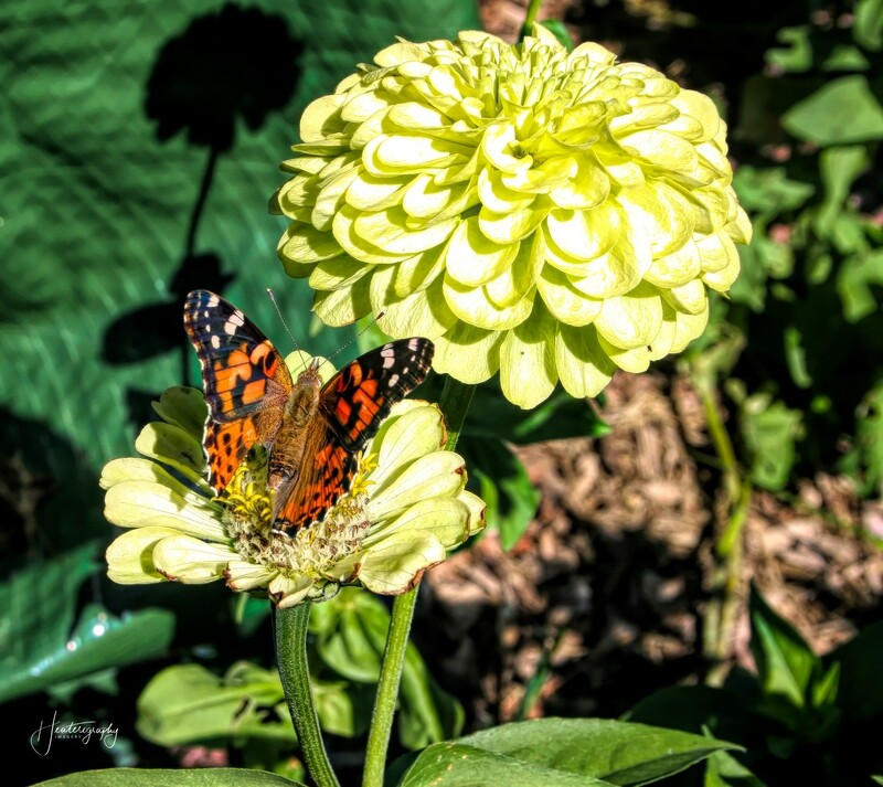 Painted Lady Butterfly on a Zinnia 288A