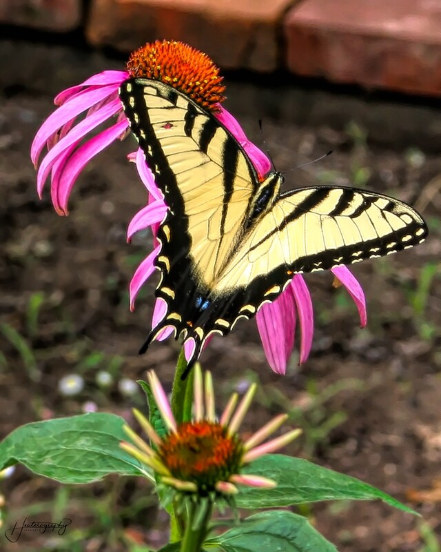 Tiger Swallowtail Butterfly 182