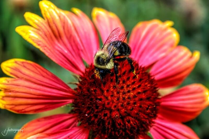 Bumblebee on a Coneflower 242
