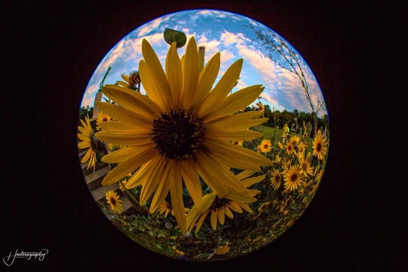 Sunflower and Sunsinger Fisheye Fun 109