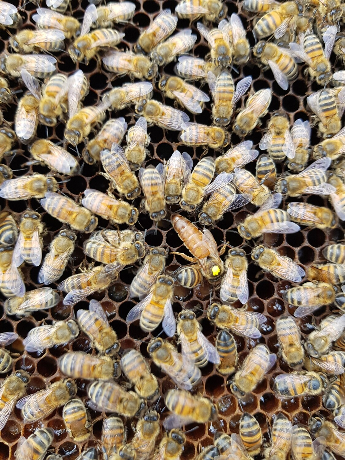 5 or 6 Frame National Nucleus hive : £50 Deposit - £180 Total - reared by us from our best stock - Available from June - Limited Stock