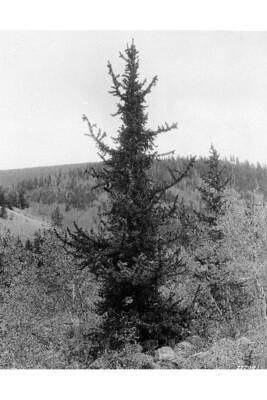 LT - Bristlecone Pine - Pinus aristata