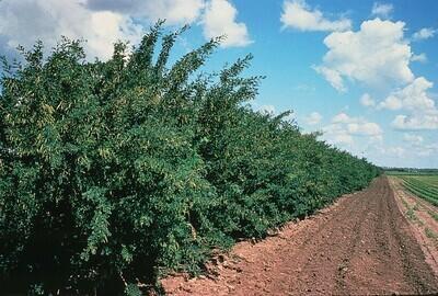 BR - Caragana - Caragana arborescens