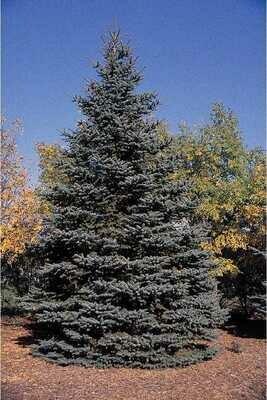 LT - Colorado Blue Spruce - Picea pungens
