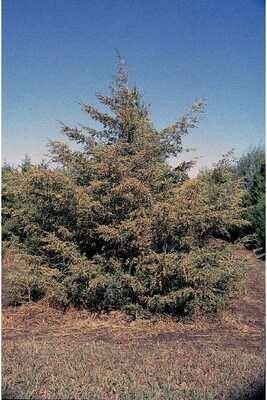 BR - Eastern Redcedar - Juniperus virginiana