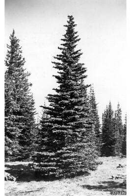 LT - Engelmann Spruce - Picea engelmannii