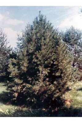 LT - Limber Pine - Pinus flexilis