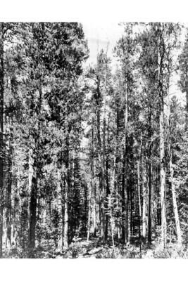 LT - Lodgepole Pine - Pinus contorta