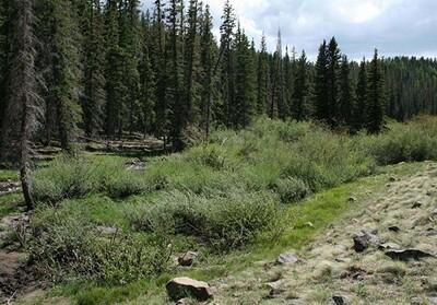 40ci - Mountain Willow - Salix monticola