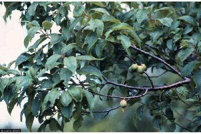60ci - Native Plum - Prunus americana