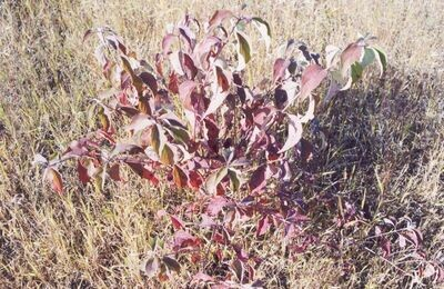 LT - Red-Osier Dogwood - Cornus sericea