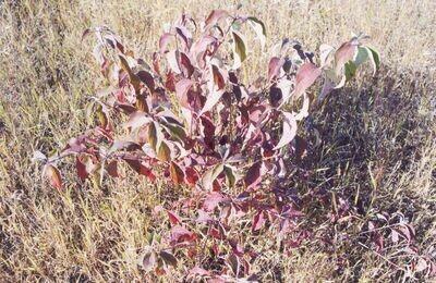 40ci - Red-osier Dogwood - Cornus sericea