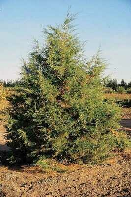 BR - Rocky Mountain Juniper - Juniperus scopulorum