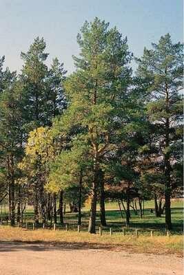 LT - Scotch Pine - Pinus sylvestris