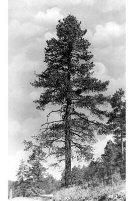 LT - South West White Pine - Pinus strobiformis