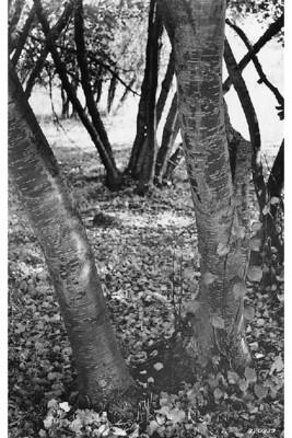 LT - Water Birch - Betula occidentalis