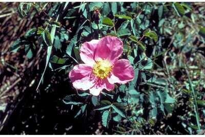 BR - Wood's Rose - Rosa woodsii