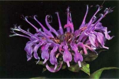LT - Wild Bergamot - Monarda fistulosa