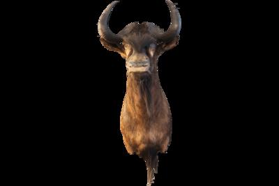 Black Wildebeest Mount