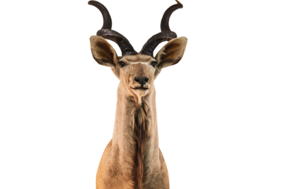 Kudu Head Mount