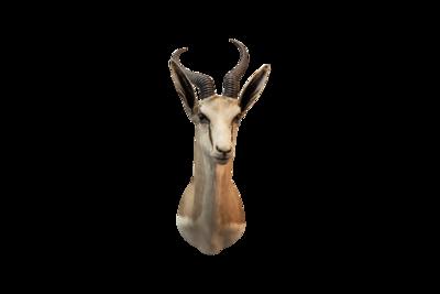 Springbok Mount