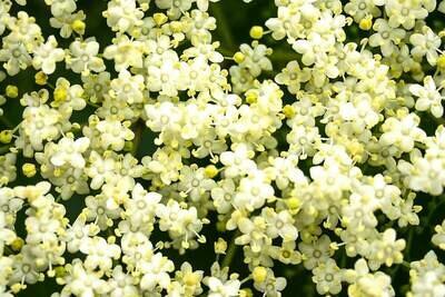 D'Olivo Elderflower White Balsamic Vinegar