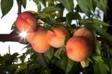 D'Olivo Peach White Balsamic Vinegar Condimento