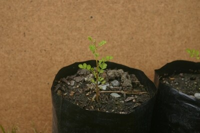 Kowhai - South Island Kowhai, Sophora microphylla