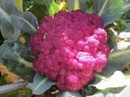 Rode Broccoli