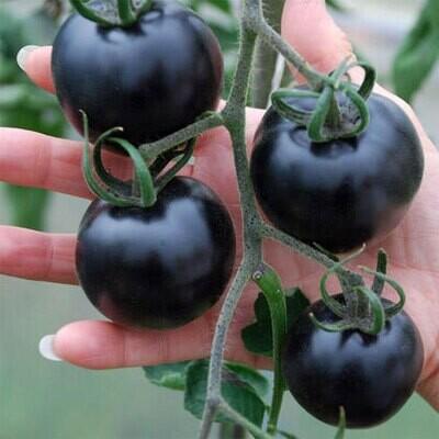 Tomaat Cherry Zwart