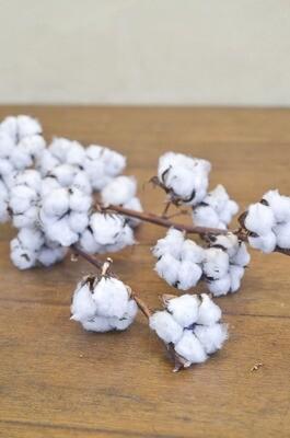 Branche de coton nature