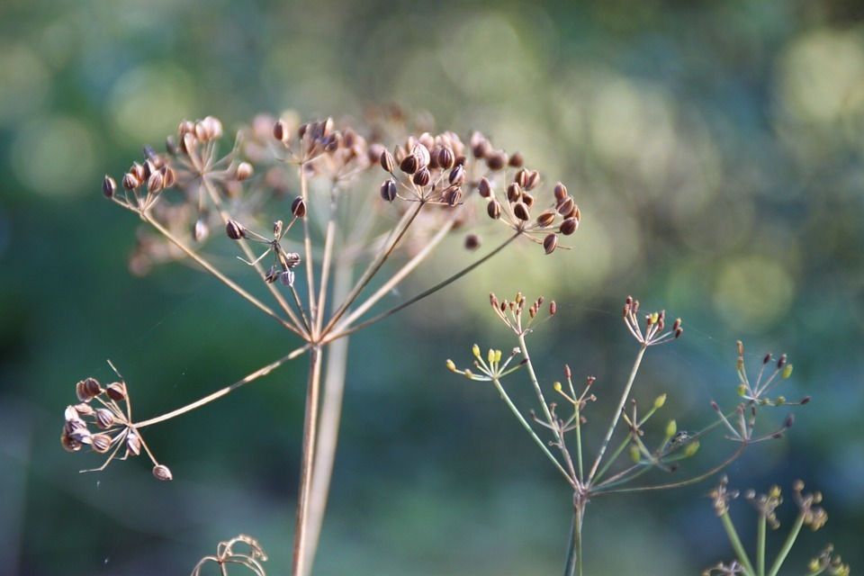 Dill Seed - Whole