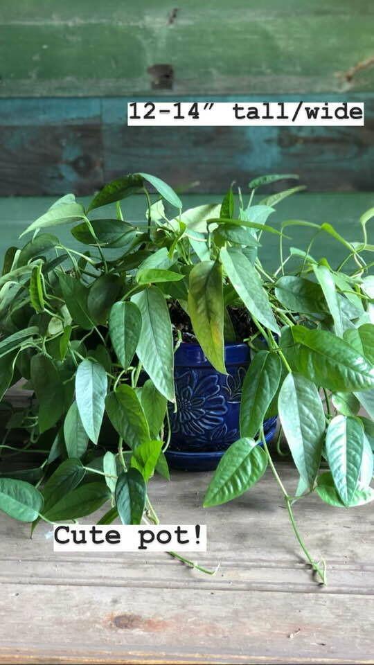 Medium Houseplant