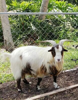 Male fainting goats-Bucks