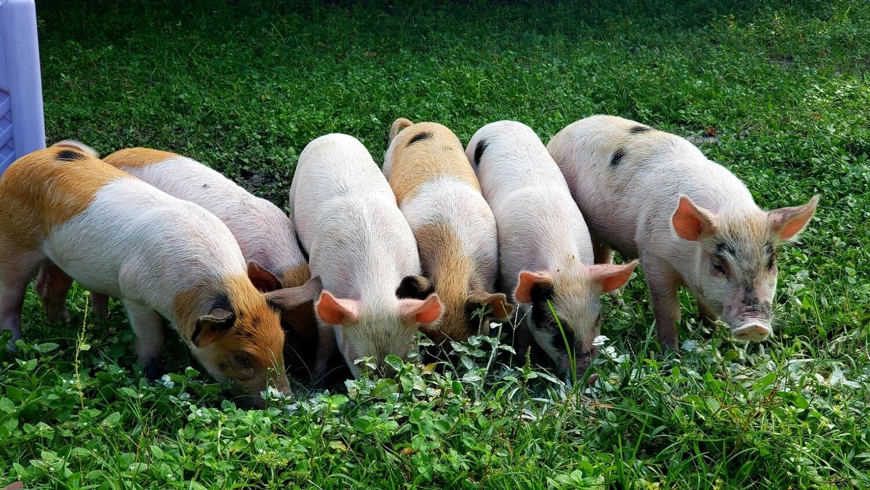 Pasture raised pig deposit