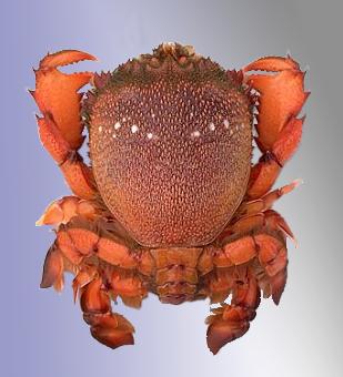 Spanner Crab Quota