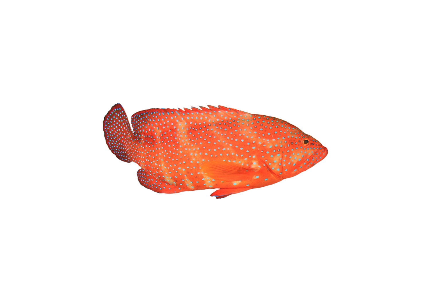 Coral Trout Quota per KG Lease