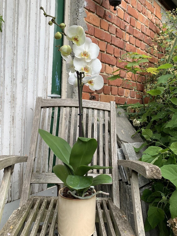 Orchideeën met pot