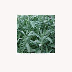 (Dalmation) Sage -50 Capsules