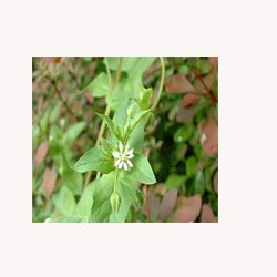 Chickweed - Loose Tea