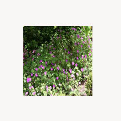 Cranesbill - Loose Tea
