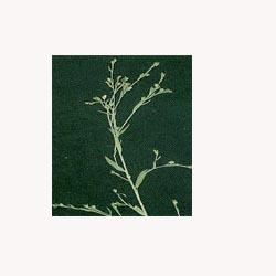 Flax Seeds - 50 Capsules